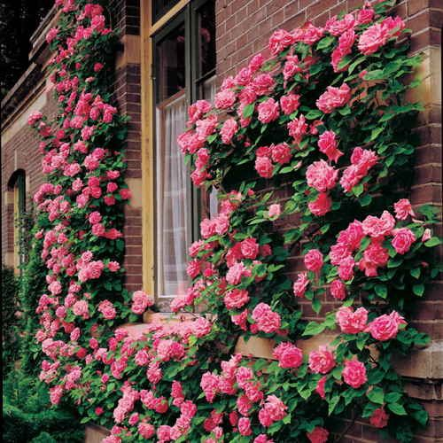 Zephirine Drouhin Climbing Rose (few thorns)
