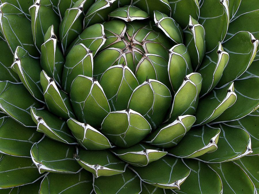 Photo Marco Bombara Agave Cactus