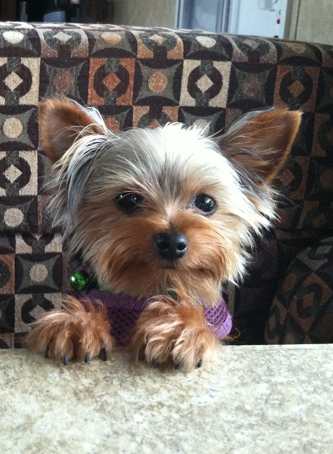 Yorkie ready to have breakfast at the table my chorkie does this