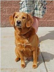 Adopt Bella On Dogs Golden Retriever Retriever Dog Dogs