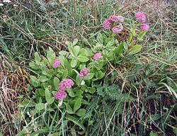 Isomaksaruoho on alkukesän kasvi. Se kasvaa kallioilla. Isomaksaruoho sopii sellaisenaan salaatteihin, tai sen voi kypsentää parsan tapaan nopeasti pannulla, jolloin siitä saa hyvän lisäkkeen.