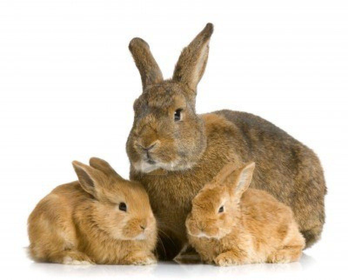 Rabbit Mutter mit ihrem neuen geboren Hase vor einem weißen Hintergrund   Stockfoto