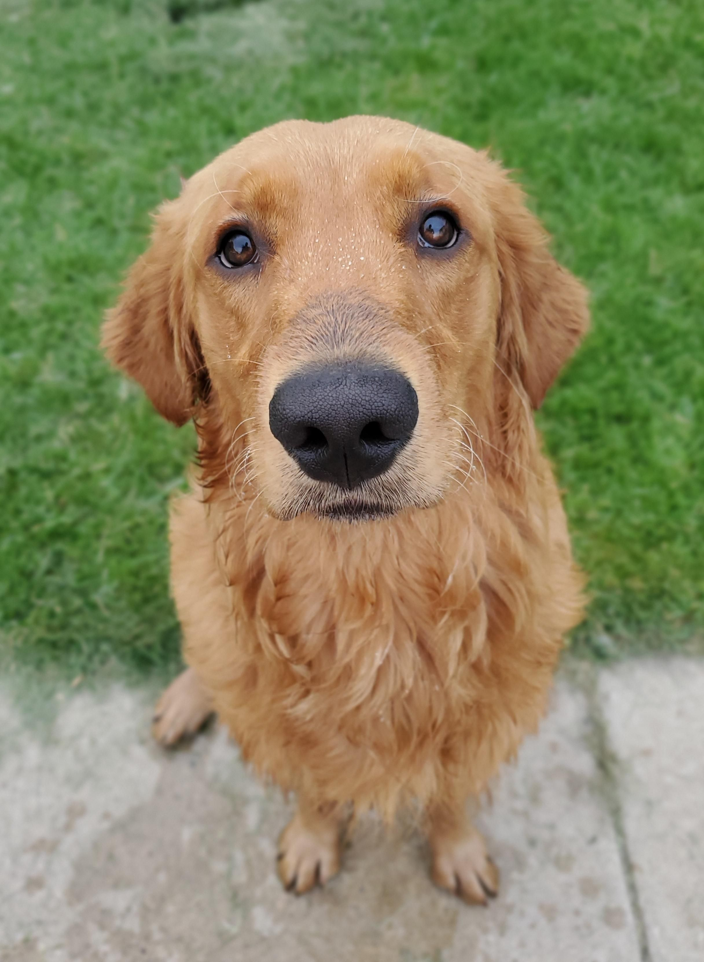 47 Adorable Golden Retriever Mix Breeds