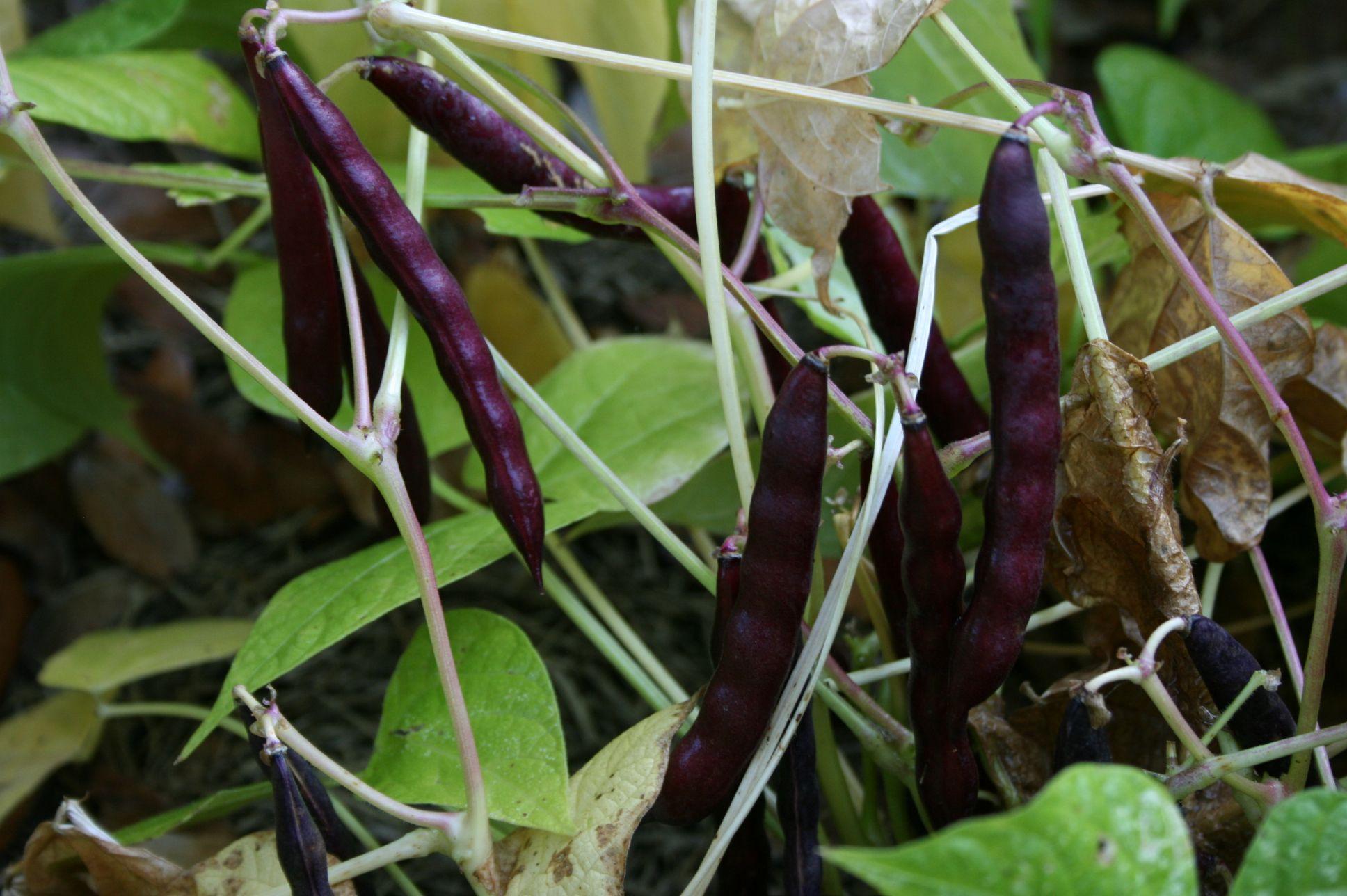 Black Beans Plant Vegetable Garden For Beginners Garden Harvest