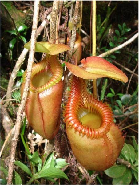 Unusual Rain Forest Animals | Rare Plants In The Rainforest   Save  Rainforest. Exotische BlumenExotische PflanzenFleischfresserFleischfressende  ...