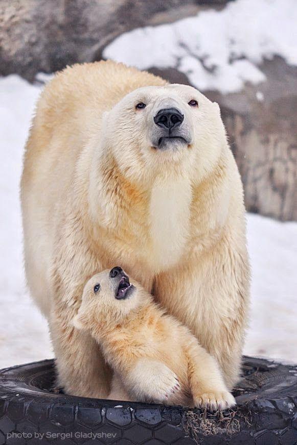 Polar Bear Mama & Cub