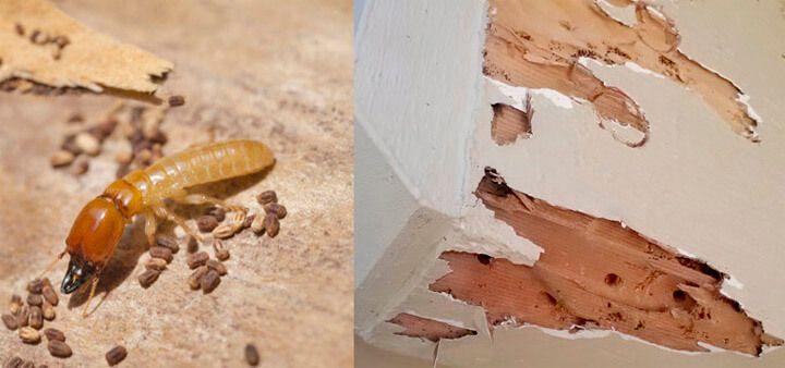 Drywood Termites Pictures