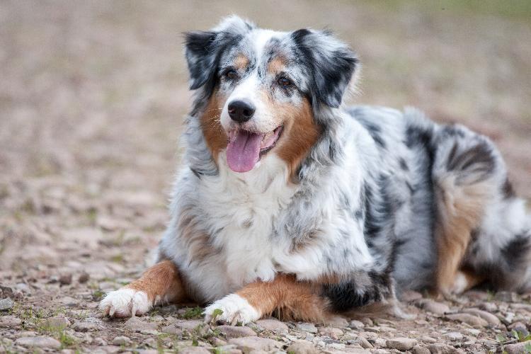 Australian Shepherd Charakter Haltung Pflege Welpen Aussie Welpen Und Hunderassen