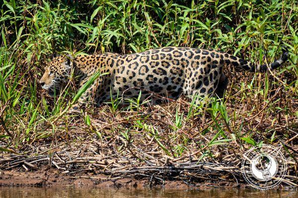 The Pantanal Jaguar Getting Up Close And Personal Pantanal Animals Wild Jaguar