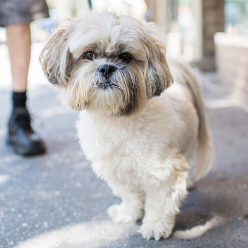 The Dogist Shih Tzu Dogs Animals