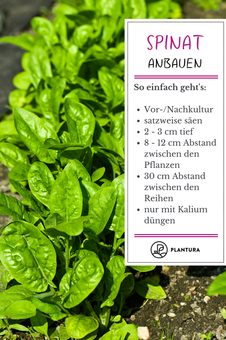 Photo of Spinat anbauen: Wann, wo & wie? – Plantura