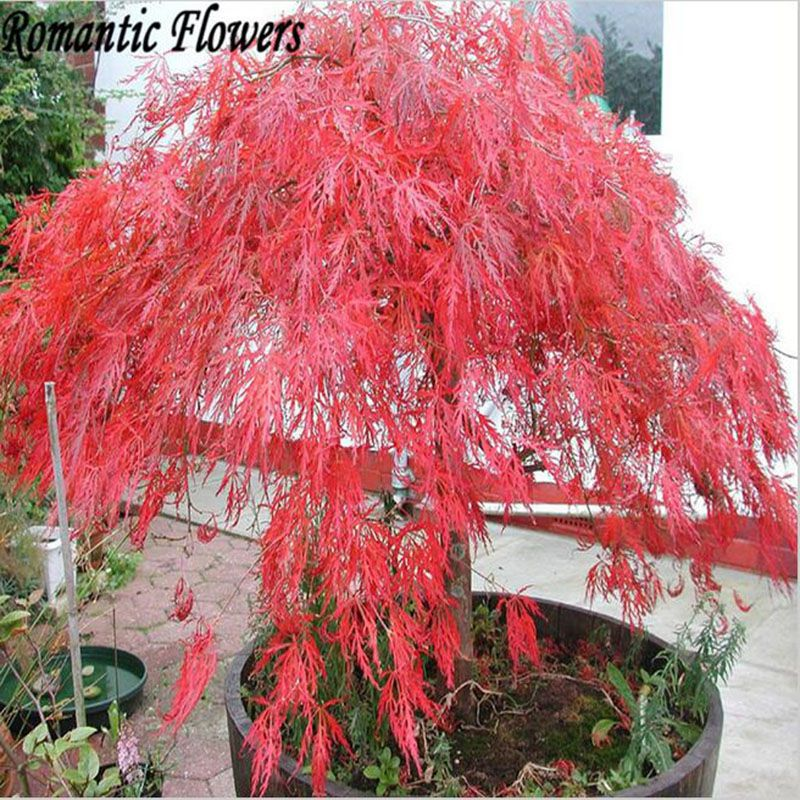 50 Particle Bag Home Garden Plant Tree Seeds Acer Palmatum