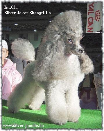 Silver Joker Shangri La Animals Poodle