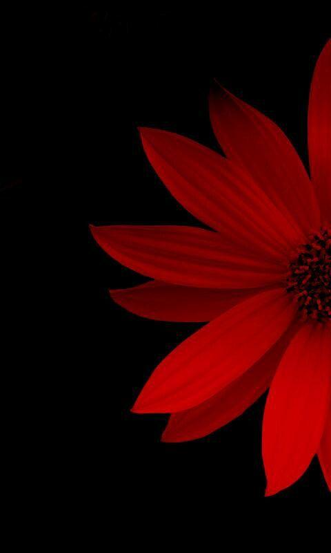 Flower Flower Wallpaper Red Wallpaper Black Wallpaper