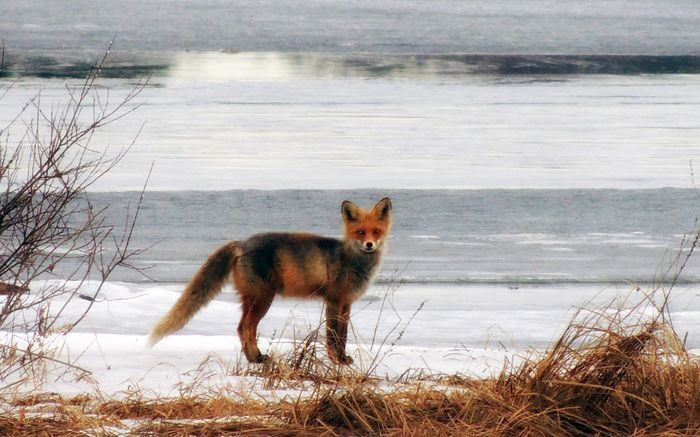 Fox popped up on the icy shore, Finland / unski ollikainen