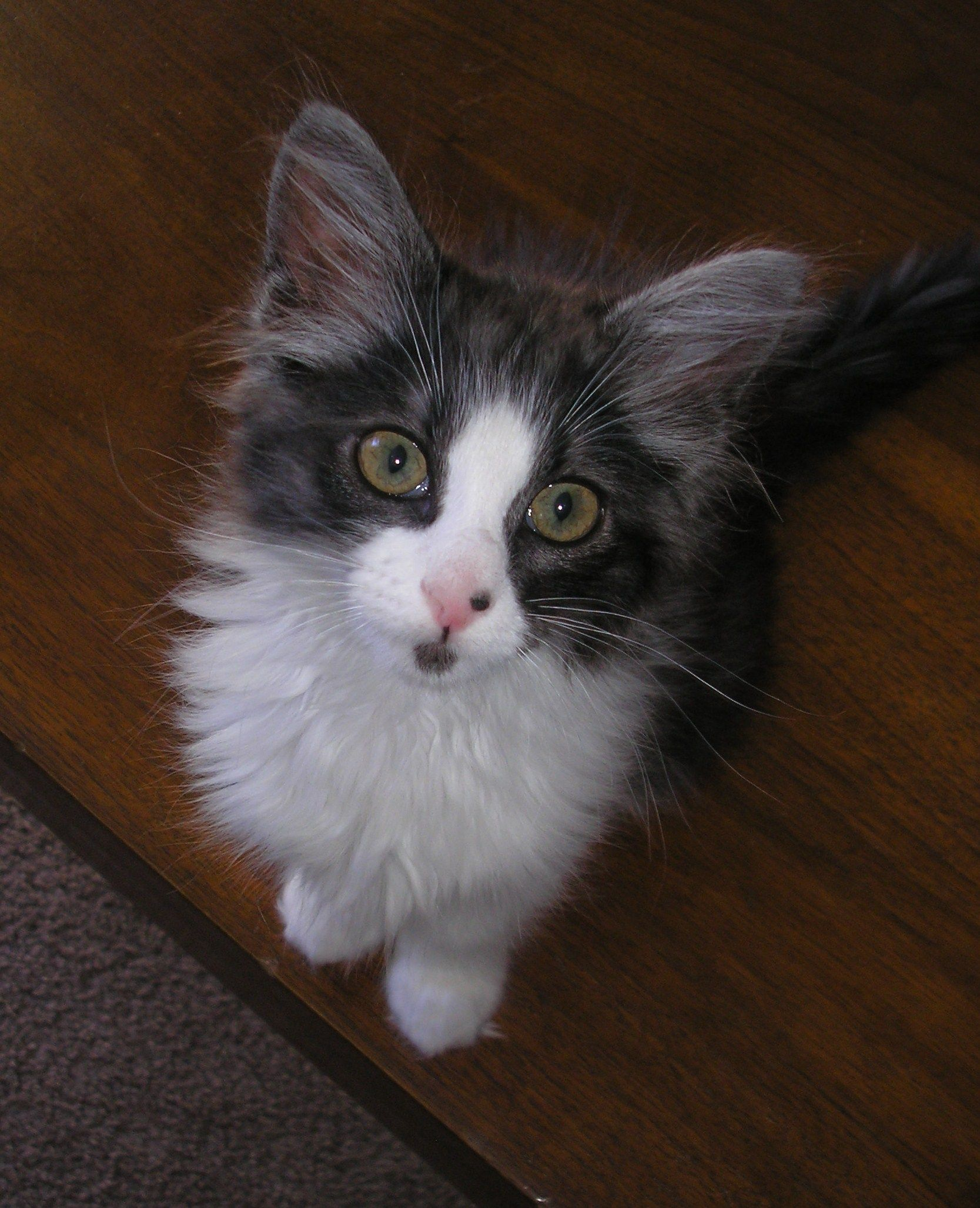 My name is Bear. I am a 4 month old spayed female kitten