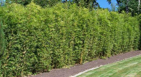 Bambus als grüner Sichtschutz.