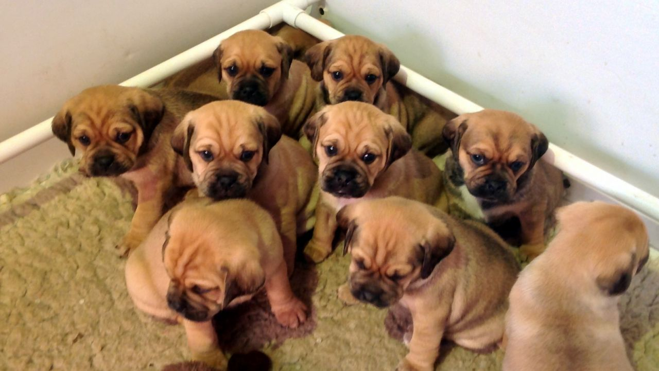 Gorgeous F1 Puggle Puppies For Sale Puggle Puppies For Sale