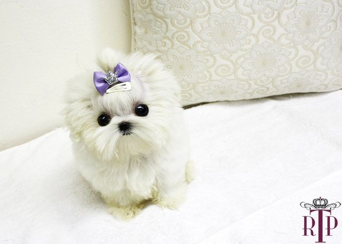 Micro Teacup Maltese Puppies Micro Teacup Maltese Puppy For