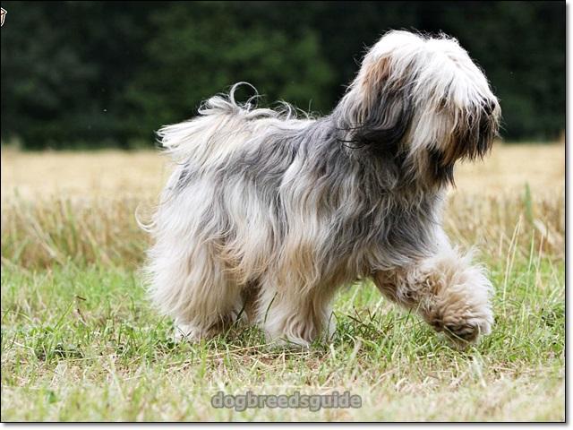 12 Dog Breeds That Don T Shed Dog Breeds That Dont Shed Low Shedding Dogs Dog Shedding