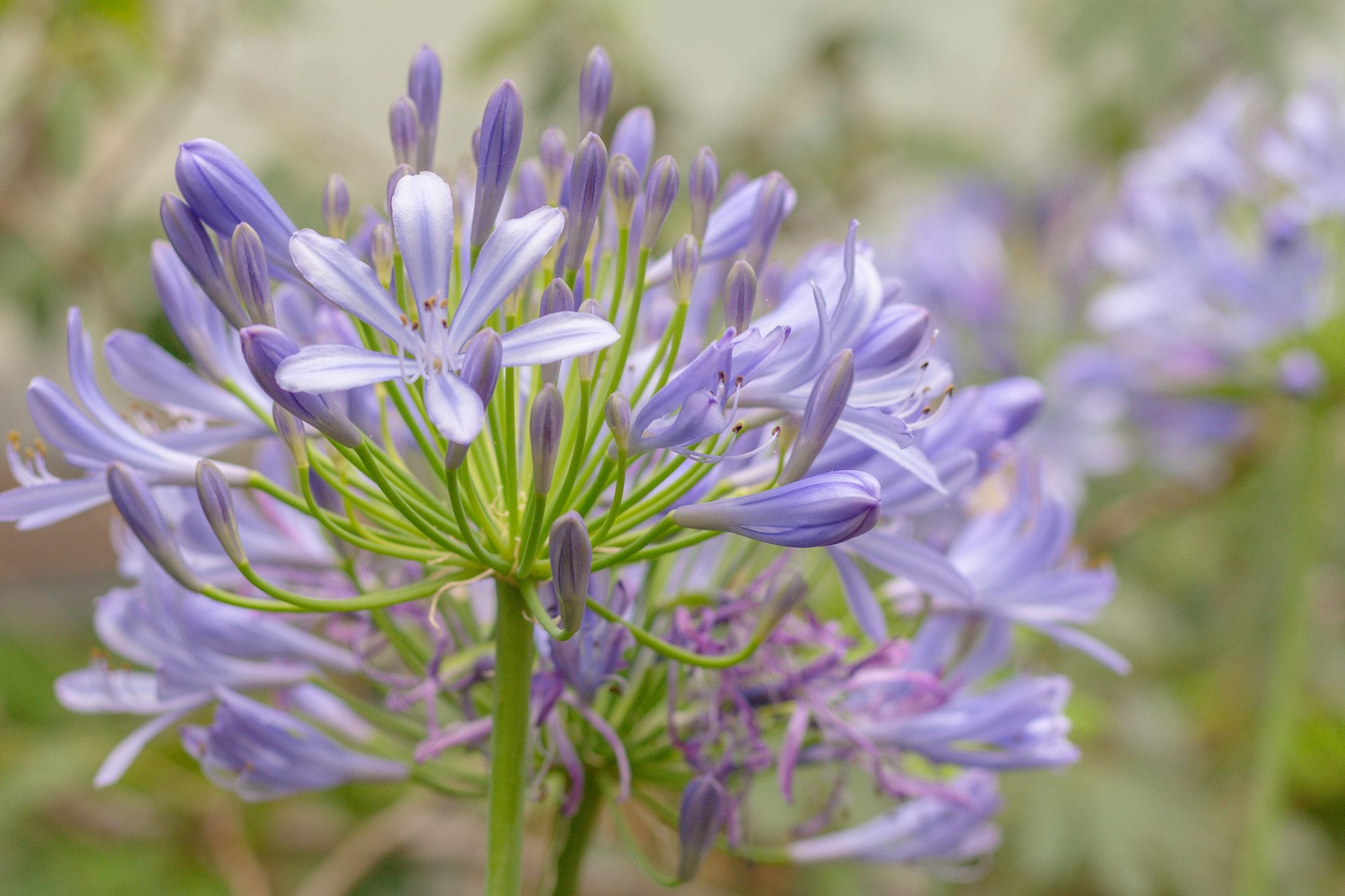 AGAPANTHUS SP.  Purple Flower - 50mm f4 1/125s ISO125 crop