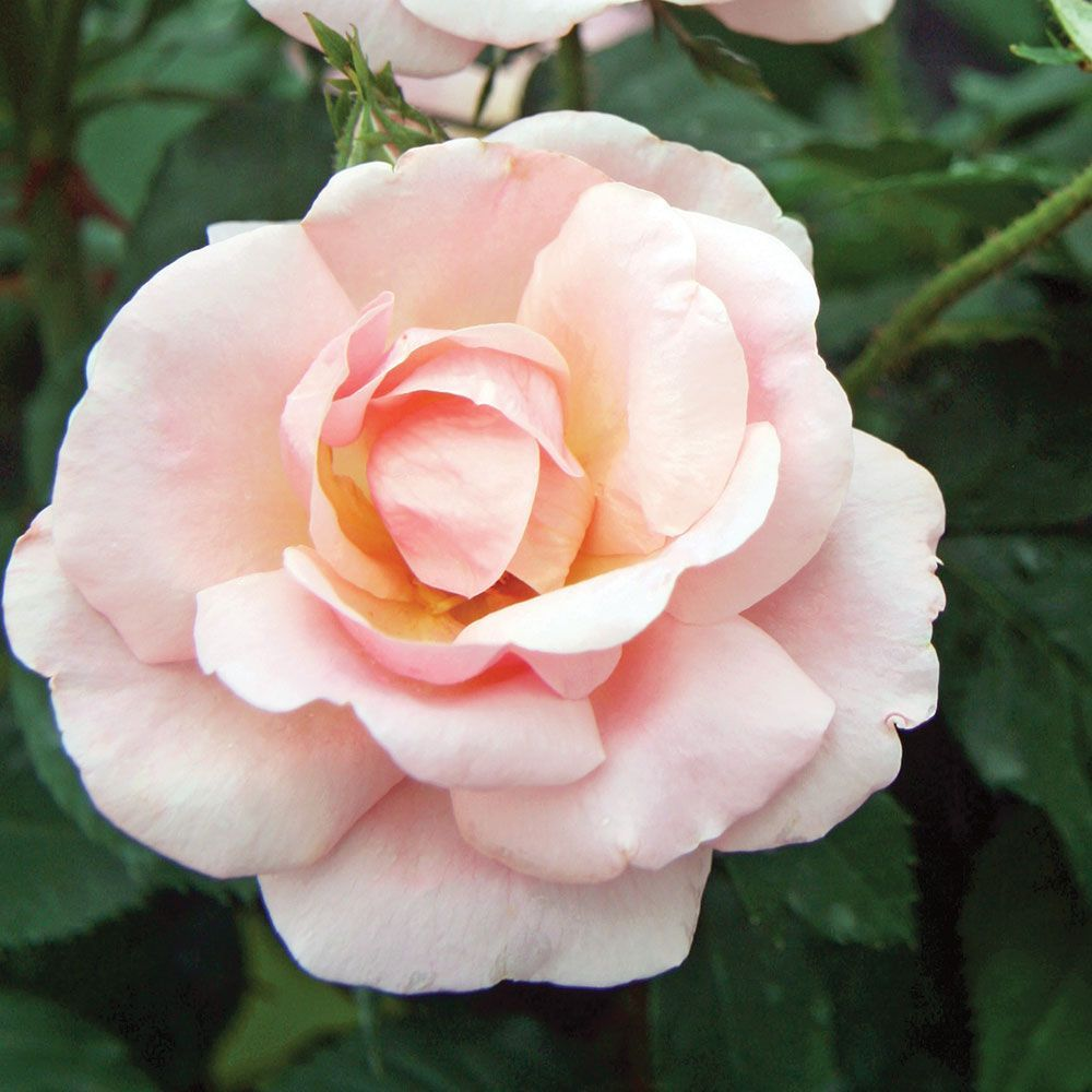 Rose PEACHY Knock Out® Common Name Shrub Rose This