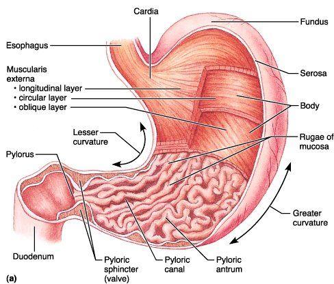 Stomach-Gross Anatomy | ||nursing | Pinterest | Gross anatomy ...
