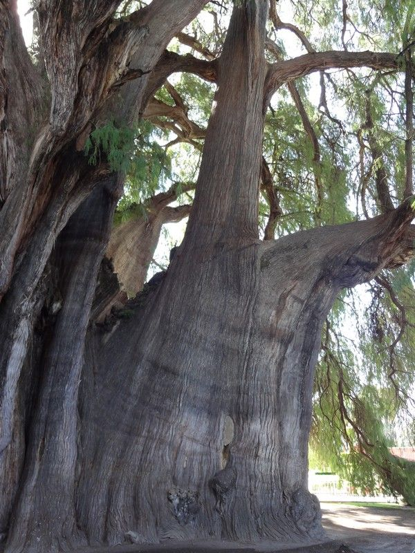 Les Plus Grands Arbres Du Monde : grands, arbres, monde, Arbre, Monde, L'arbre, Arbre,, Arbres, étranges,, Planter