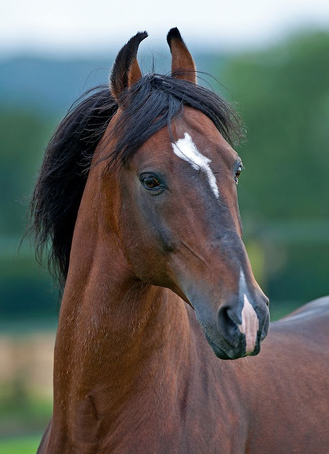 Diraj Marwari stallion in the UK/ photo by Michael Huggan