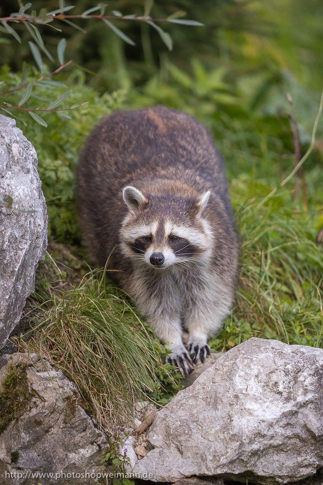 Raccoon North american animals, Raccoon, Cute animals