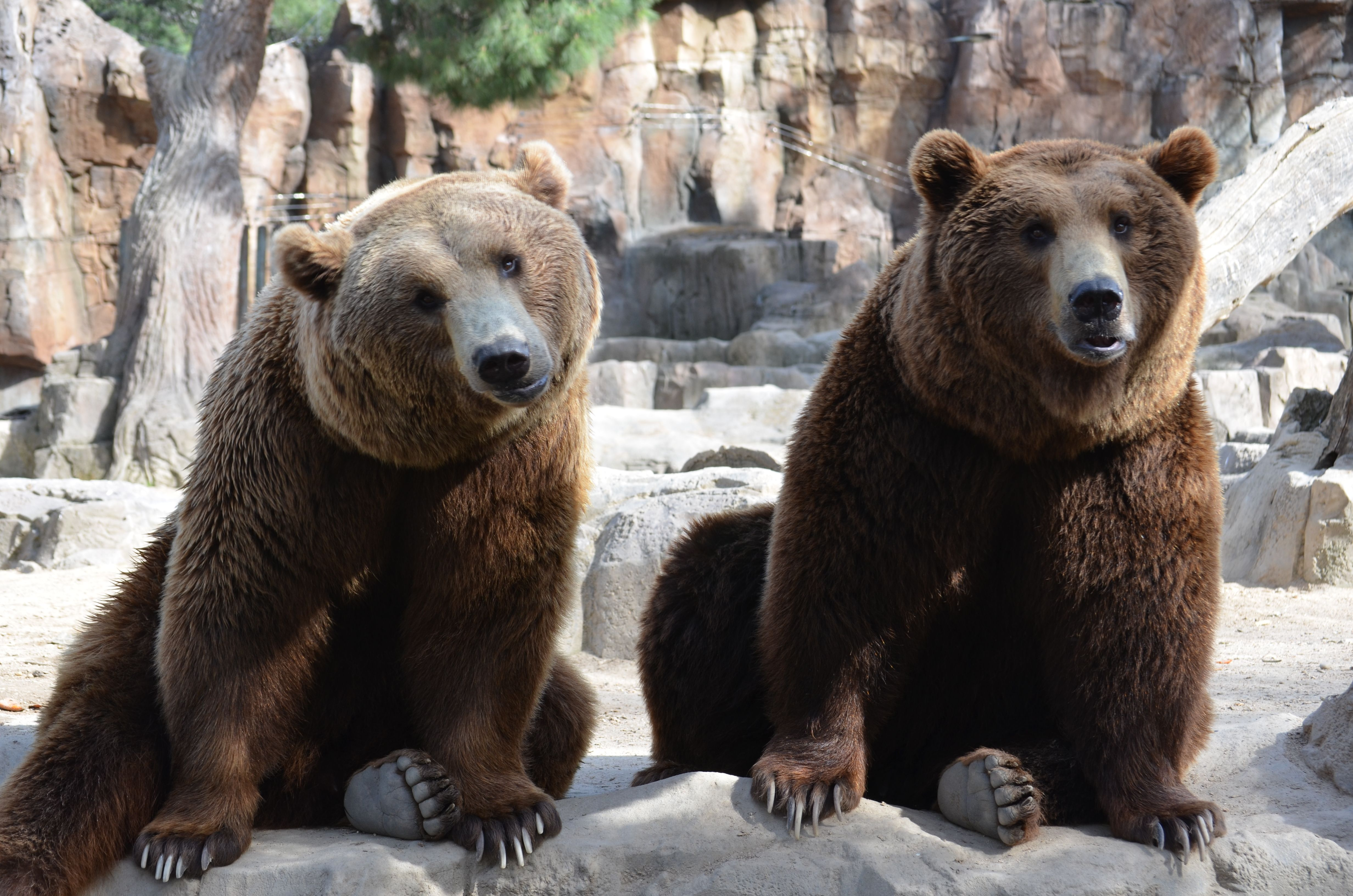 El Oso Pardo (Ursus arctos) es una especie repartida en varios ...