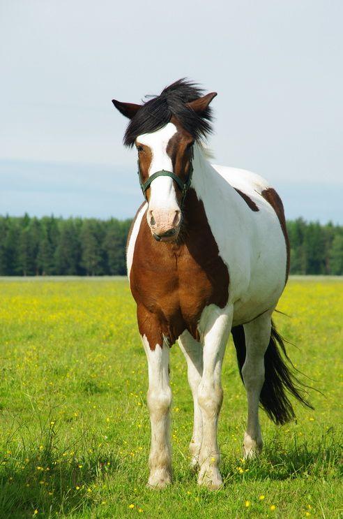 Byelorussian Harness Horse | Rare Horse Breeds | Pinterest | Horse