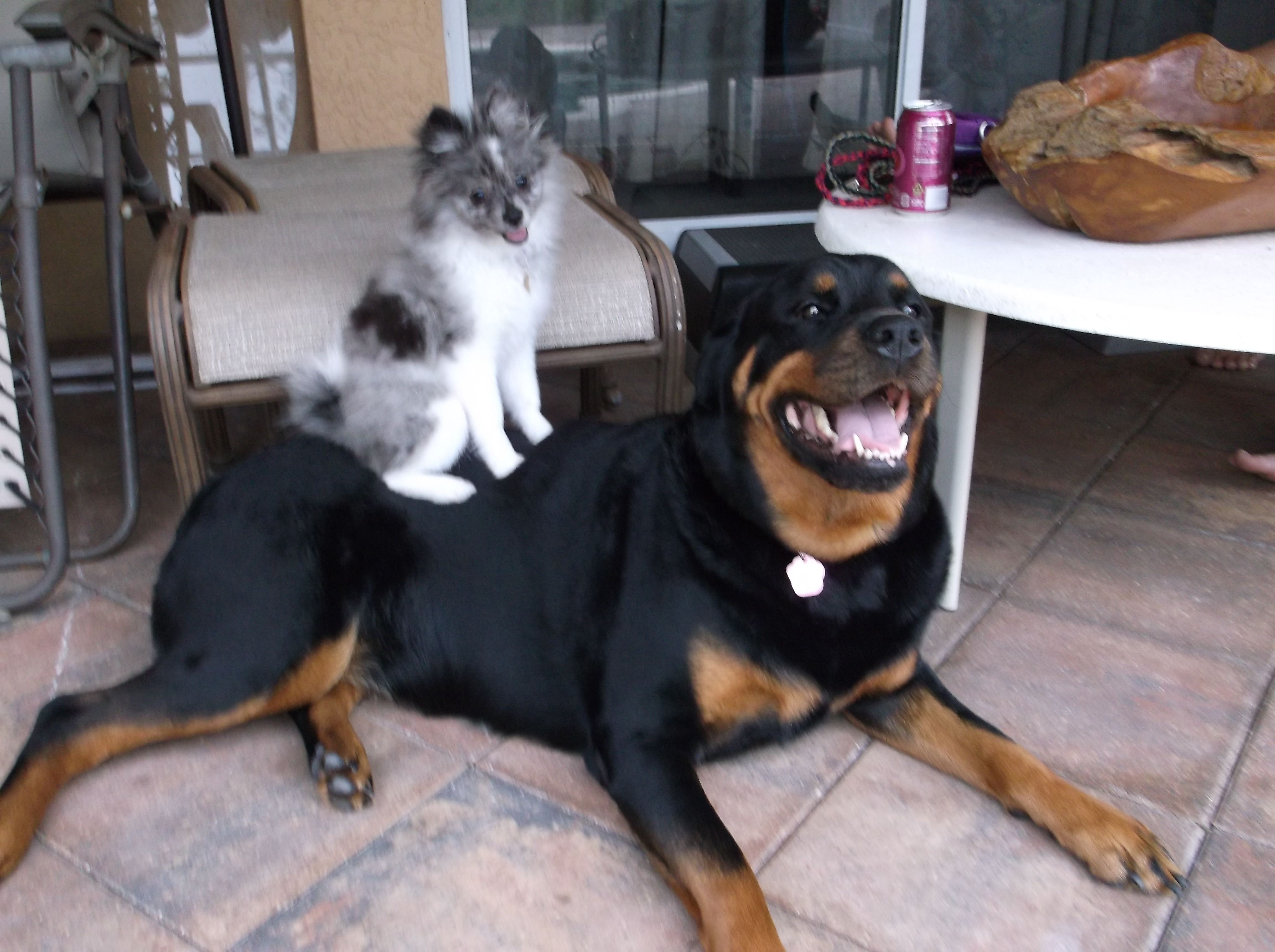 Moo The Rottweiler And Sydrah The Pomeranian Love Each Other