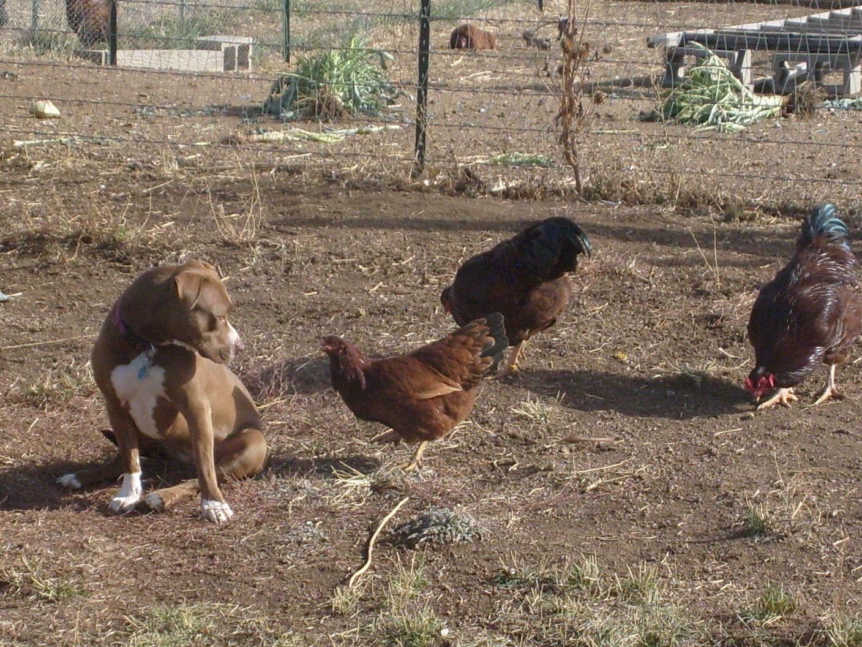 Herding the chickens