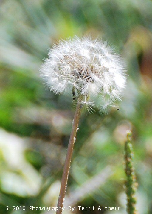 Pin On Wishes Weed The Dandelion