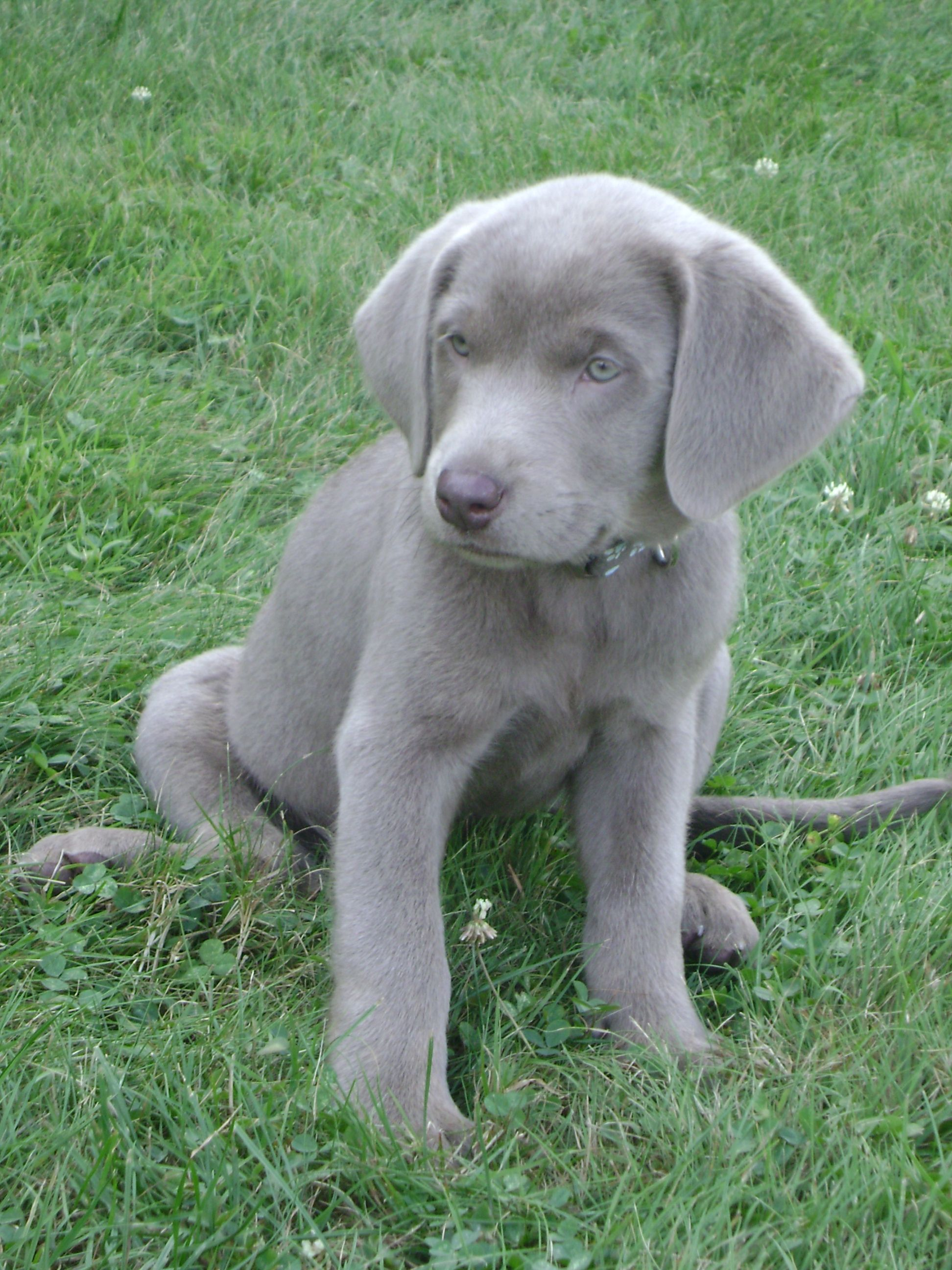 I want a silver lab so bad.... Puppies, Silver lab