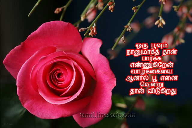 Love Kavithai With Red Rose Www Picturesboss Com