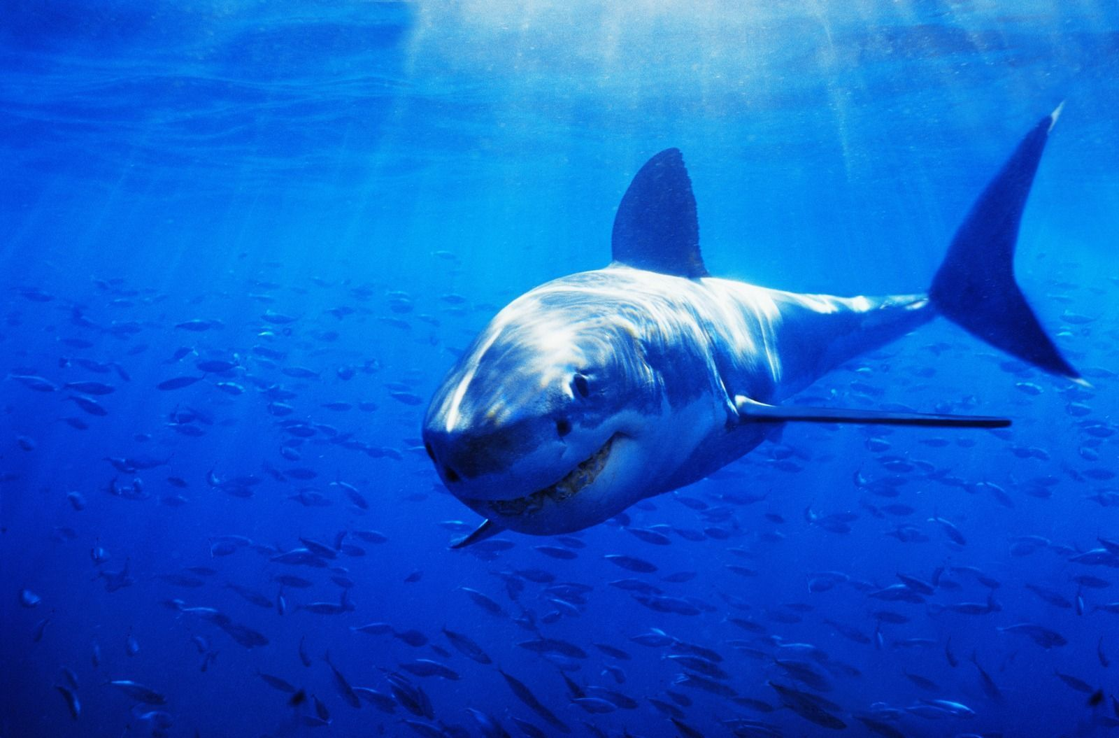Pleasing Shark Wallpaper HD Wallpapers HD Wallpaper x