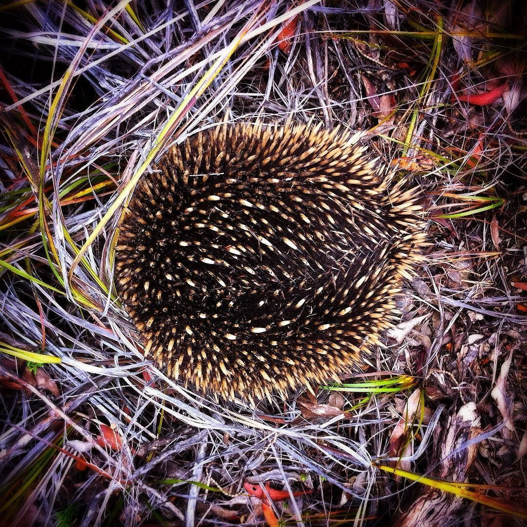 Plenty of wildlife on the trails today - Bonus to see this fella not so much the Tiger Snake!  Another highlight running in to @8illy_jo3 @jordan_in_melbourne and @kellettini / #echidna #mtb #anglesea / by p___cat http://ift.tt/1KosRIg