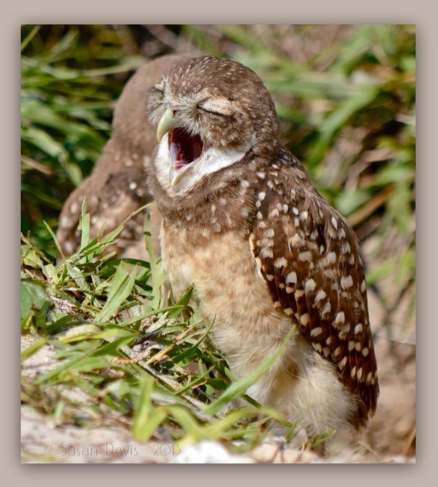 Florida Burrowing Owl Burrowing owl, Owl, Baby art
