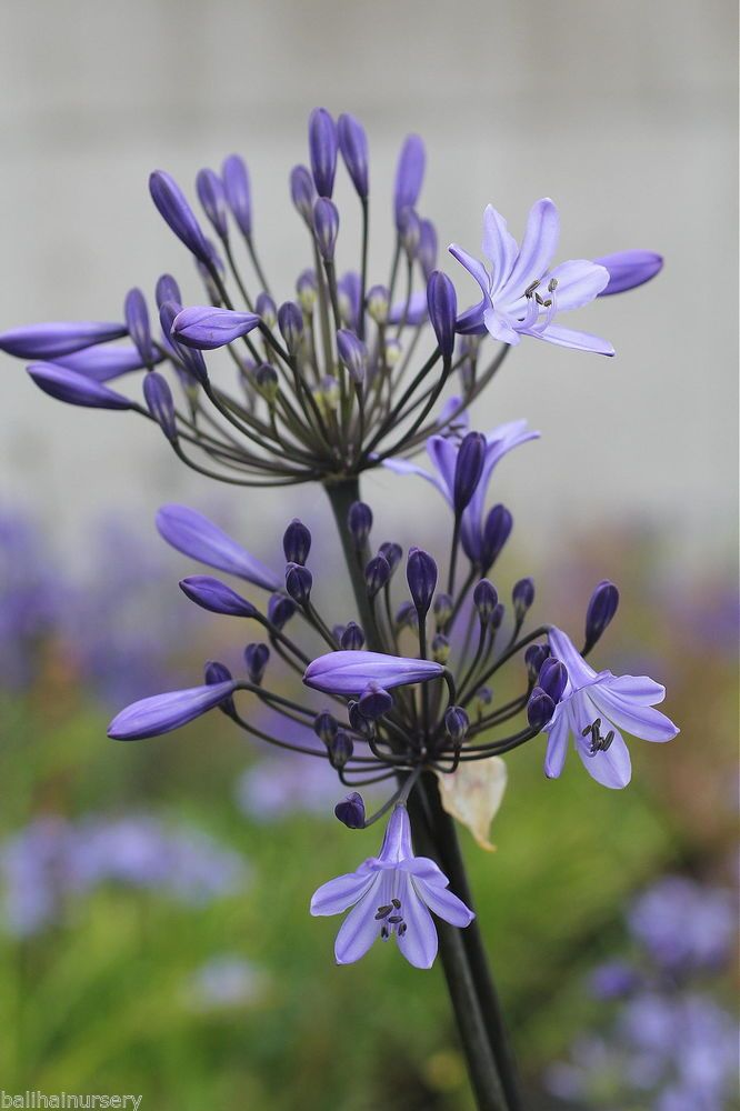 Details About New Agapanthus Montreal Dark Blue Flowers Excellent