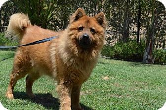 Marina Del Rey Ca Chow Chow Meet Rusty A Dog For Adoption