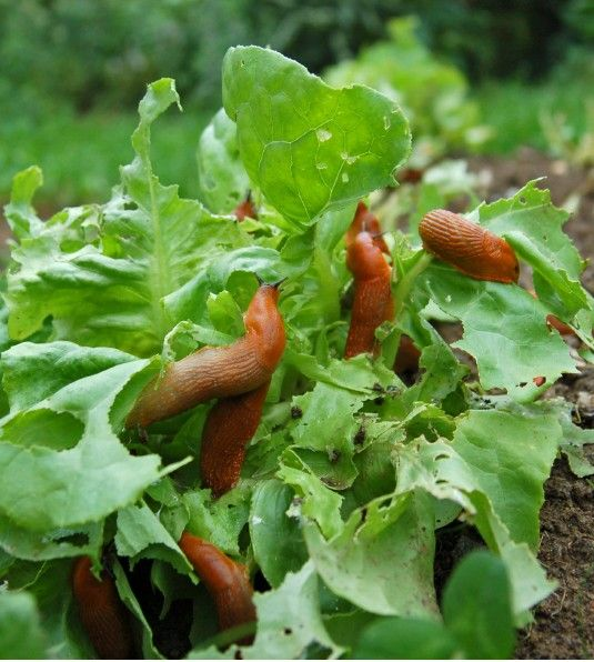 how to stop slugs and snails