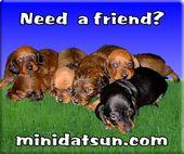 Www Minidatsun Com Dachshund Lovers Dachshund Puppies