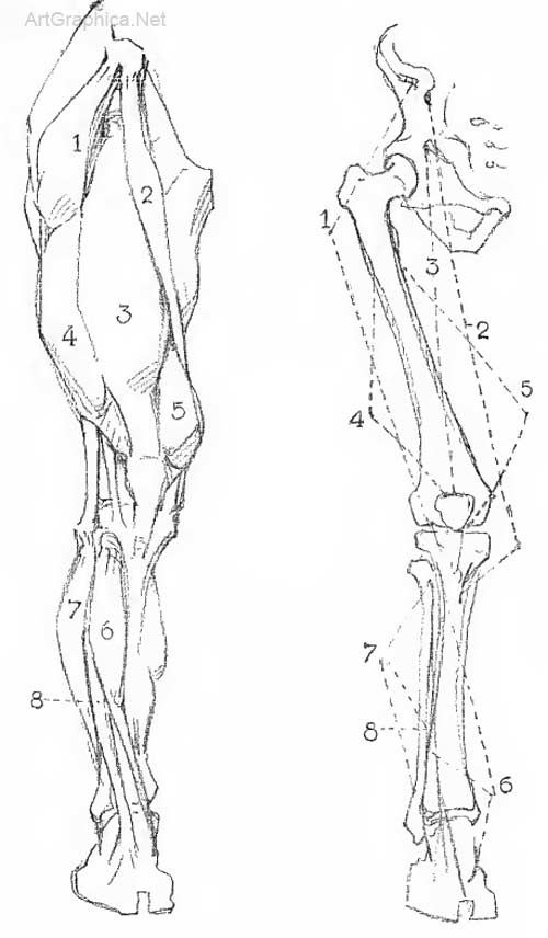 Leg Construction Art Anatomy B777 Pinterest Anatomy Art