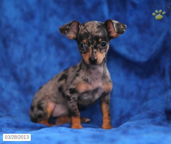 Jasmine ChiWeenie Puppy for Sale in Christiana, PA