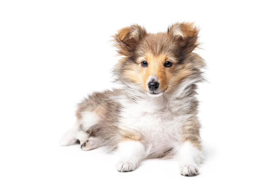 Find Shetland Sheepdog Puppies In Your Area And Helpful Tips And