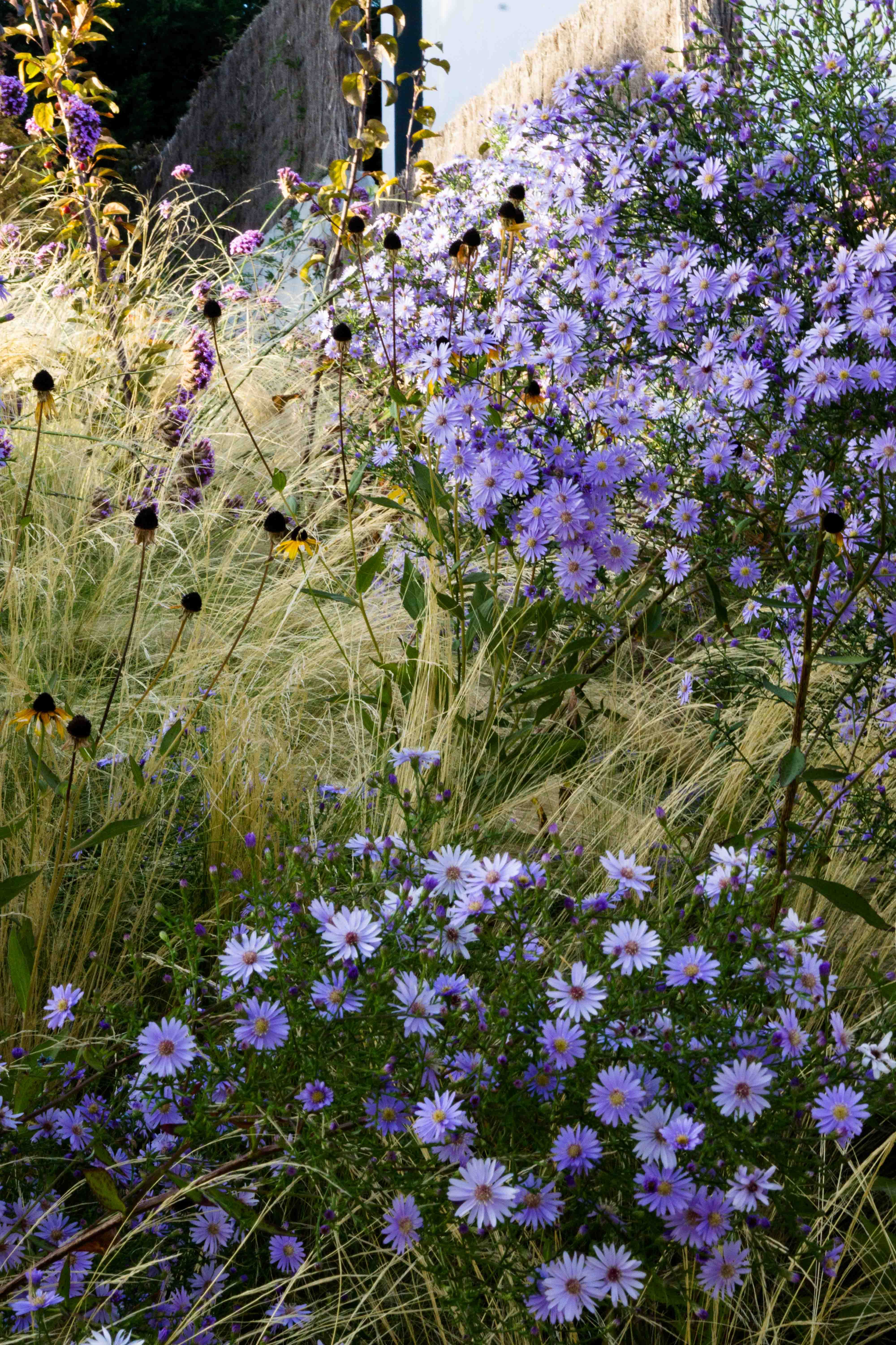 Aster Little Carlow Rudbeckia And Stipa Stipa Is A Genus Of