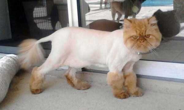Ridiculously Stupid Cat Haircuts 25 Photos Cat Haircut Stupid