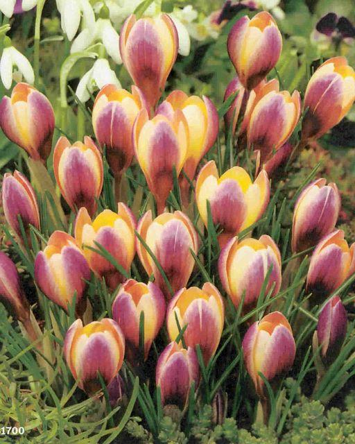 Boston Bulbs Wholesale Crocus Tommasinianus Bulbs Boston Bulbs Wholesale